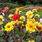 Flamboyant and fancy, dahlias are among the darlings of late summer PA