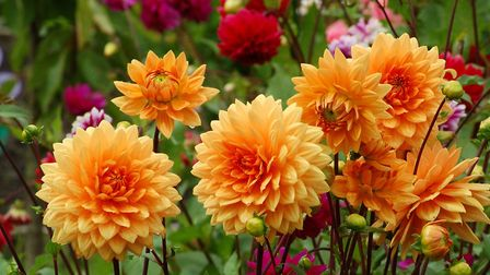 Some dahlias are blousy, with pompom or peony-like flowers