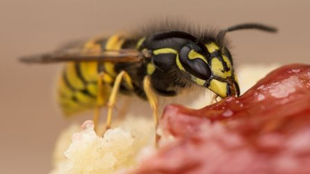 Wasps can be a nuisance when we're eating al fresco (PA)