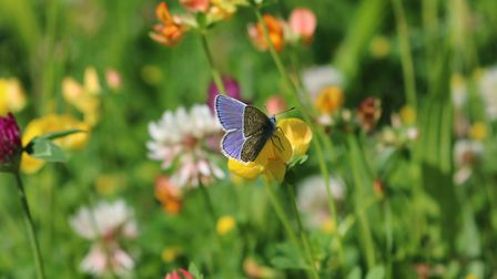 A common blue butterfly amongst wildflowers on Hampstead Heath. Picture: City of London