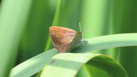 A purple hairstreak butterfly. Picture: City of London