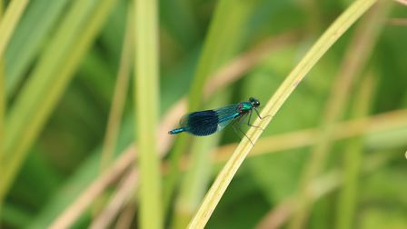A banded demoiselle dragonfly on the boating lake. Picture: City of London