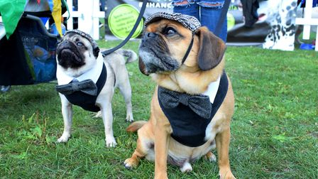Pugs Neville and Jake dressed like Peaky Blinders characters at Pup Aid. Picture: Polly Hancock