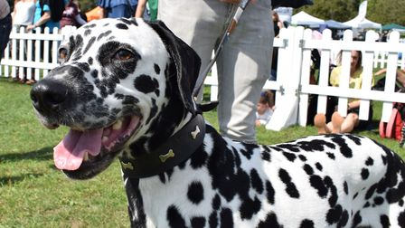 Oliver from British Dalmatian Welfare at Pup Aid. Picture: Polly Hancock