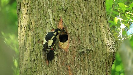 A greater spotted woodpecker in Highgate Wood. Picture: City of London Corporation
