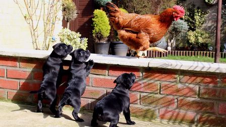 This cute shot of three puppies, just seven weeks old, curiously inspecting a chicken has won The Jo