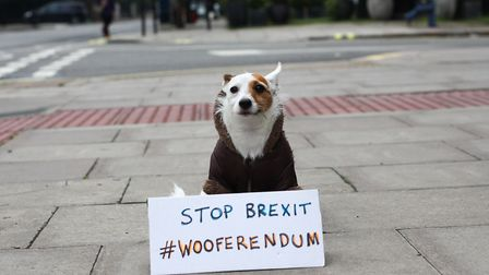 Archie the Terrier in West Hampstead with the Wooferendum placard