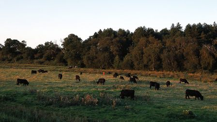 Black cattle on the marsh in Somerleyton. Picture: Lord Somerleyton