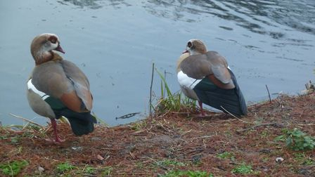A new Egyptian goose killed the longstanding male and shacked up with the remaining female. Picture: