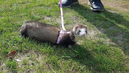 Bumble the escaped ferret. Picture: Jade Lindsay