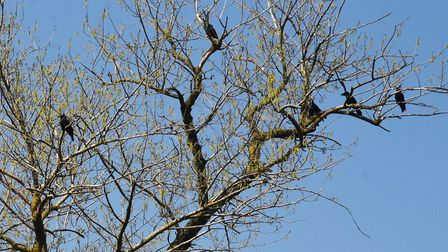 Crows are busy at this time of year. Picture: KEN MEARS