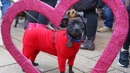 Tess the Patterdale Terrier at the All Dogs Matter Valentine's Dog Walk, Hampstead Heath last year.