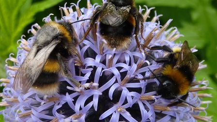 Bumble bees on a globe thistle. Picture: Tony Mott