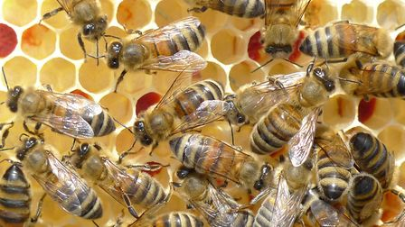Honey bees with red pollen. Picture: Tony Mott