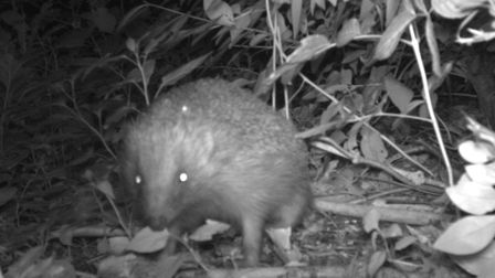 A Hedgehog caught by ZSL's camera trap as part of HogWatch