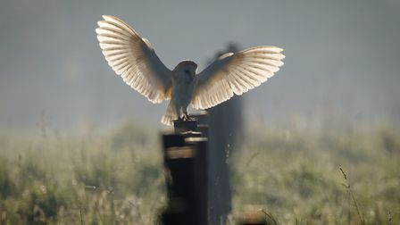 This magestic shot of barn owl landing on a fence post at Carlton Marshes has taken The Journal's Oi