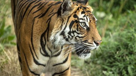 Melati, the female tiger killed by a prospective mate at ZSL London. Picture: ZSL London