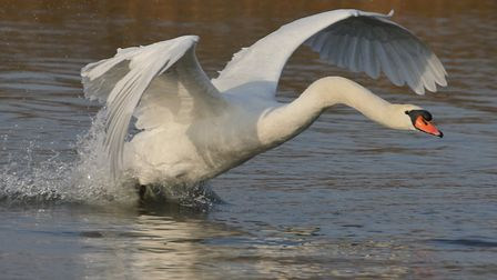 A swan attempts to fly. Picture: MARIANNE BEVIS (CC BY-ND 2.0)