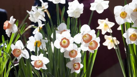 Highgate Horticultural Society Spring show 2019.Prize winning Daffodils. Picture: Nigel Sutton