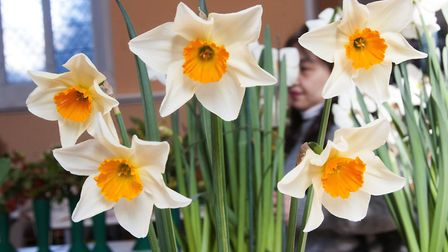 Highgate Horticultural Society Spring show 2019. Prize winning Daffodils. Picture: Nigel Sutton