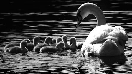 Just one of the amazing photographs Louisa took of the cygnets on Pond No 1, Hampstead Heath. Pictur