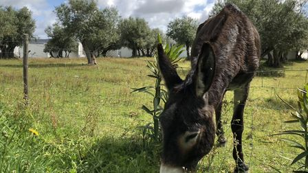 No lawnmowers are used at the Tivoli Évora eco hotel - only donkeys and sheep. Picture: Emma Barthol