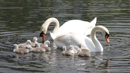 The new swan family on the water. Picture: Ron Vester