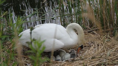 The mother swan with her latest offspring. Picture: Ron Vester