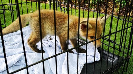 The fox was released by crews from Kentish Town fire station after becoming trapped between two fenc