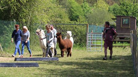 The Pathways Care Farm second birthday celebrattion events. Walking the alpacas. Pictures: Courtesy