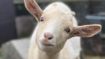 One of the Kentish Town City Farm escapees: Rosie the goat. Picture: KTCF