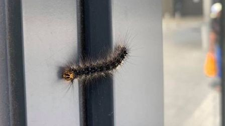 Toxic caterpillars have infested Atkins Square. Picture: Sienna Murdoch