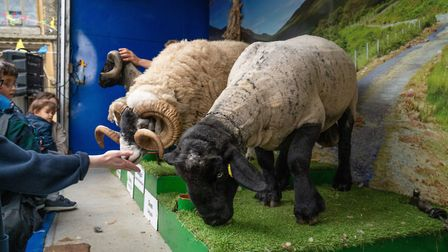Sam and Dougal are sheep. They were centre stage at the Fair in the Square. Picture: Siorna Ashby
