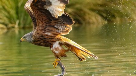 A red kite swoops down to pluck a fish from the water. Photo Kevin Coote.