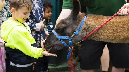 Animal Advenure and Ande the Llama at London Zoo picture courtesy of ZSL London