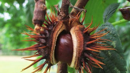 A horse chestnut opens. Picture: David Holt/Flickr/Creative Commons (CC BY 2.0)