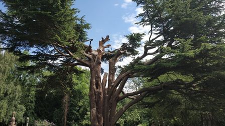 The Cedar of Lebanon in Highgate Cemetery is no more. Picture: Highgate Cemetery