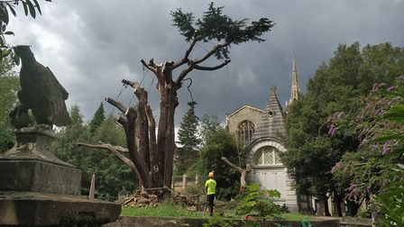 On its way out. The Cedar of Lebanon at Highgate Cemetery. Picture: Highgate Cemetery