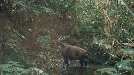 An international conference is being held in Lowestoft to establish a strategy for saving the saola,