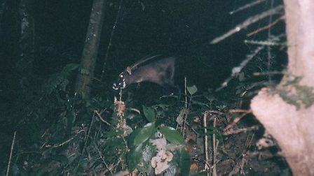 The saola was discovered as recently as 1992 and is seldom photographed in the wild. Picture: Zoolog