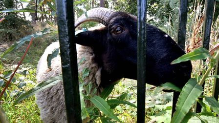 Five new sheep on the Heath spent their first day snacking. Picture: Polly Hancock