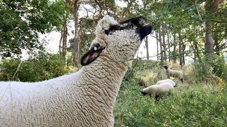One of the Oxford Down sheep eats a hawthorn bush. Picture: Polly Hancock