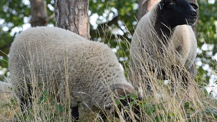 Sheep on Hampstead Heath. Picture: Kirsty O'Connor/PA Wire