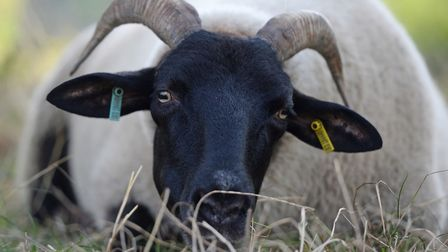 A Norfolk Horn sheep on Hampstead Heath. Picture: Kirsty O'Connor/PA Wire