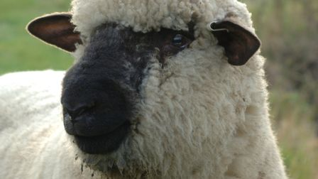The Oxford Down sheep breed - another heading for north London. Picture: British Wool Marketing Boar