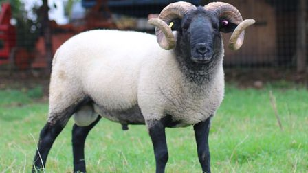 The Norfolk Horn breed of sheep is one which will be heading to the Heath this week. Picture: Rare B