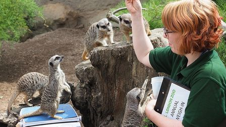 Dracula the Meerkat gets distracted by a staff member while being weighed. Picture: London Zoo/Tony