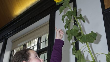 12 year old Zara Shattock with her 9 ft high Sunflower HGS Horticultural Soc Autumn show. Picture: N