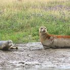 Harbour seal and her pub picture by Graham Mee RSPB
