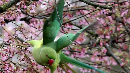 Parakeets are contributing to the dawn chorus of Hackney Marshes. Picture: KEN MEARS